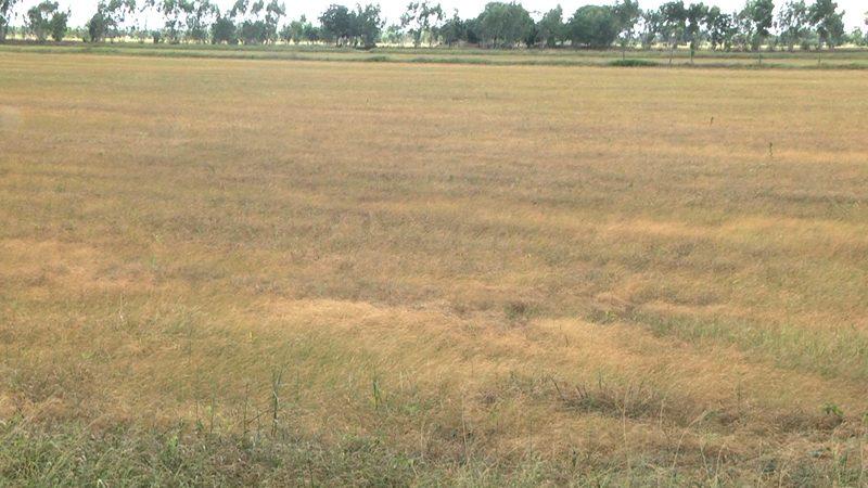 แล้งหนักแน่ | โคราชประกาศ พื้นที่ภัยพิบัติฝนแล้ง เกษตรเสียหาย 119,851 ไร่