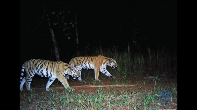 เขาใหญ่ยังมีเสือ! สัญญาณที่ดีแห่งความพยายามในการอนุรักษ์